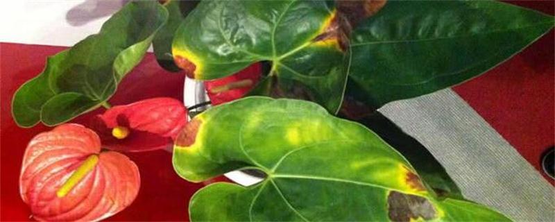 红掌花花苞为什么发黑