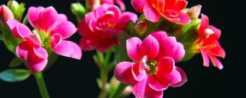 长寿花的花语及含义