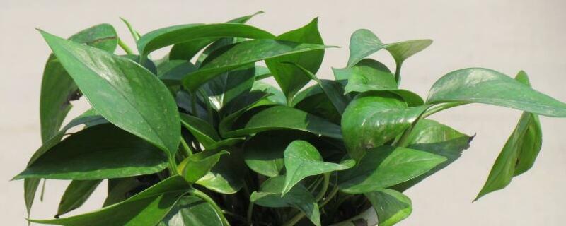 绿萝的花语