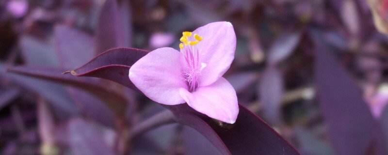 紫鸭跖草花语