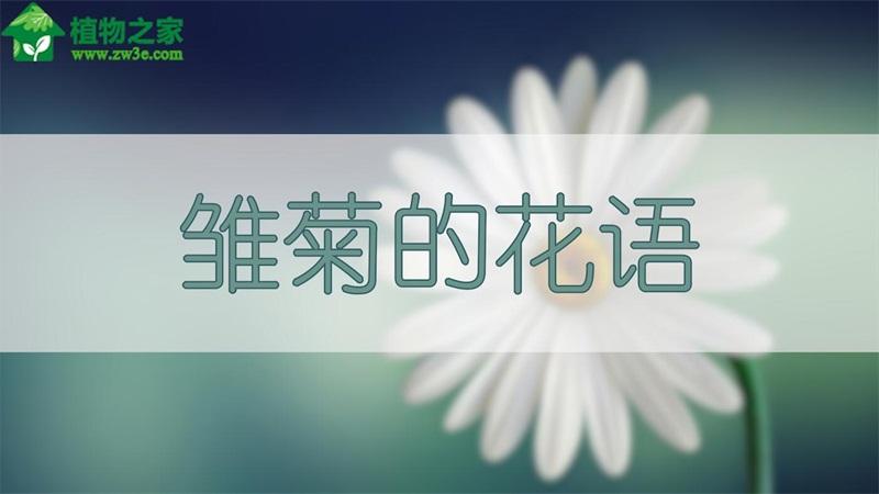 雏菊的花语