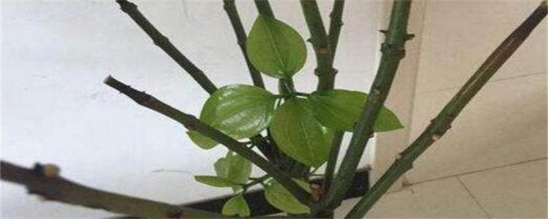 平安树怎么修剪,方法和技巧