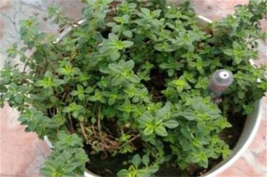 冬天室外冻不死的绿植有哪些