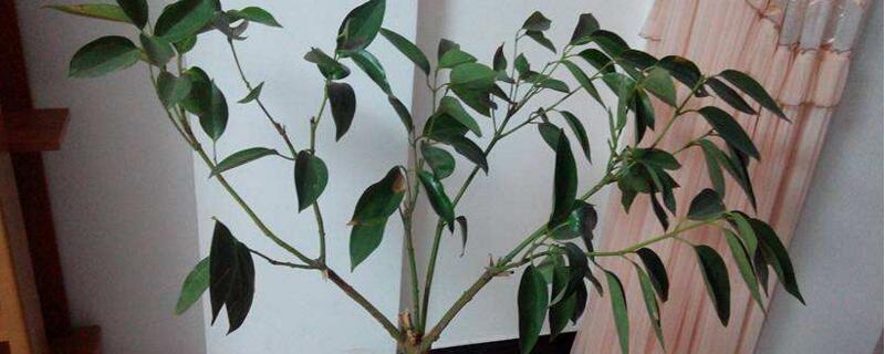 平安树怎么播种繁殖
