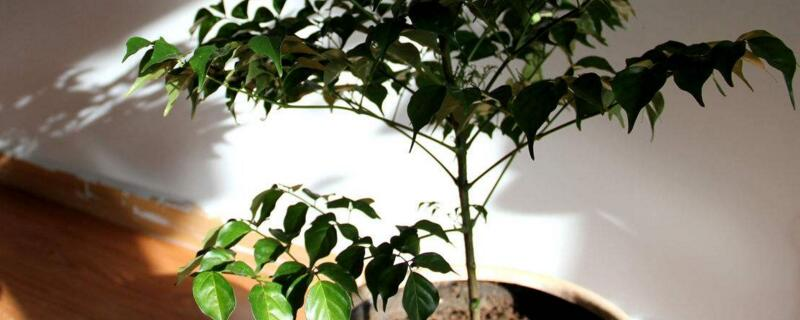 幸福树放在客厅好吗