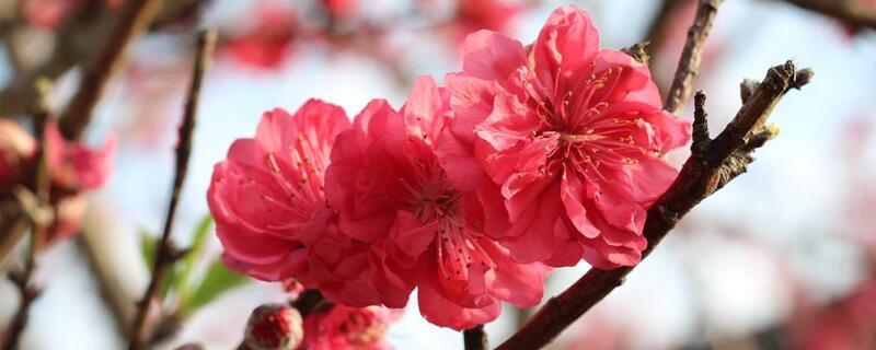 木棉花花语
