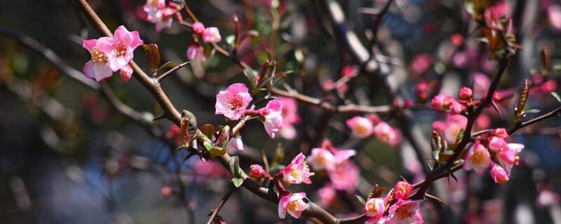 日本海棠的养殖方法和注意事项
