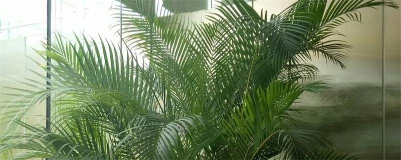散尾葵和凤尾竹哪个贵