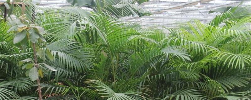 凤尾竹的风水作用,可旺财招财和驱邪护宅