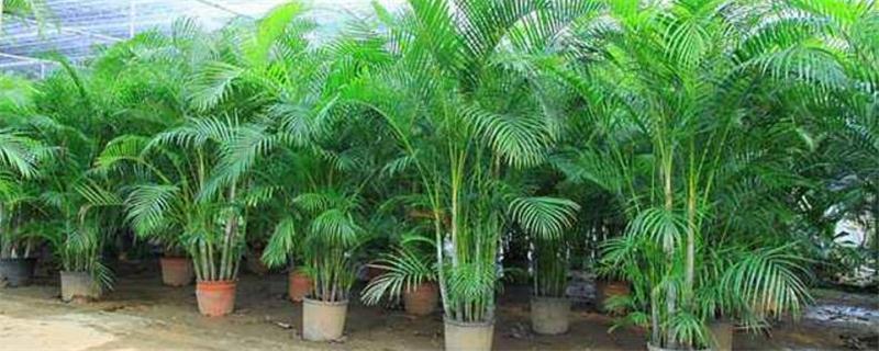散尾葵和夏威夷椰子怎么区分