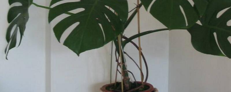 水培龟背竹的养殖方法和注意事项