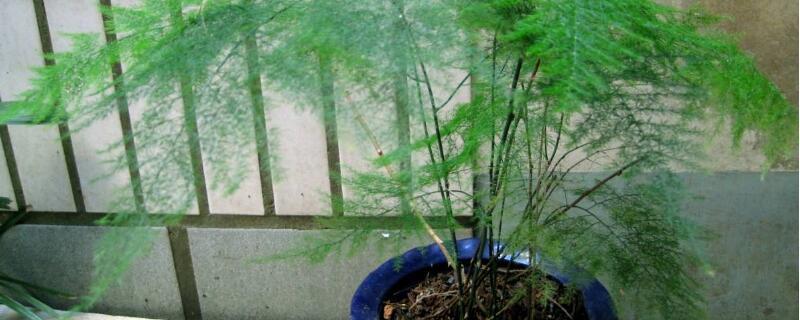 文竹冬天叶子发黄怎么办