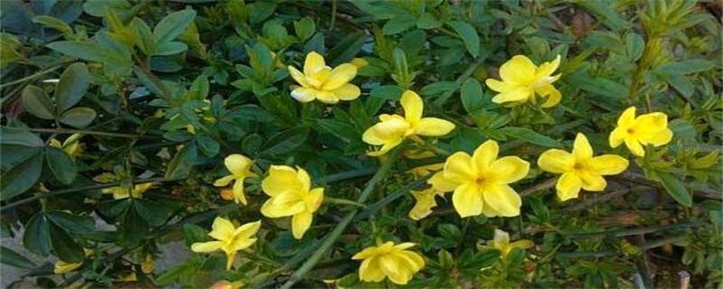 迎春花的养殖方法和注意事项