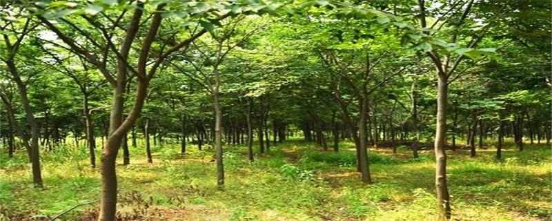 榉树的养殖方法及注意事项