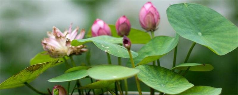 莲花的养殖方法和注意事项