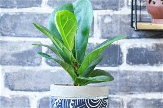 琴叶榕的养殖绿植屋方法和注意事项