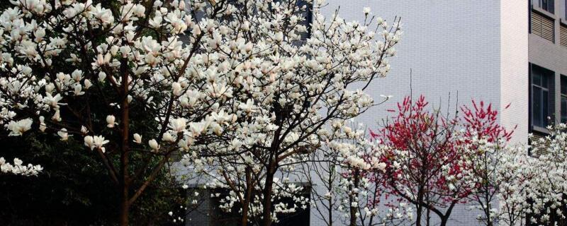 玉兰冬天能开花吗