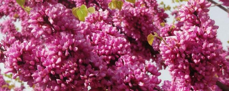 紫荆冬天能开花吗,怎么过冬