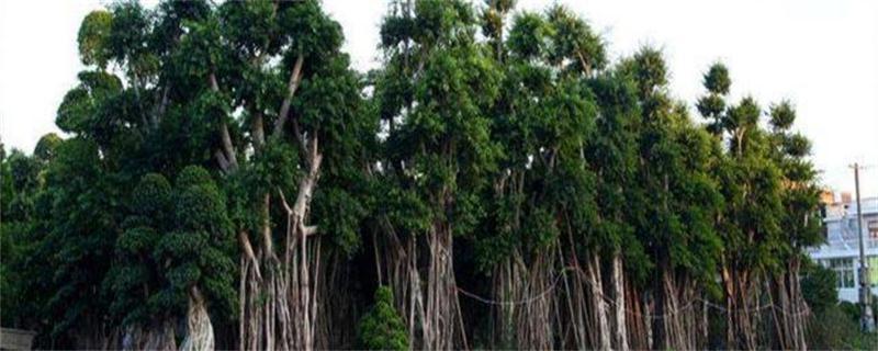 高山榕的养殖方法及注意事项
