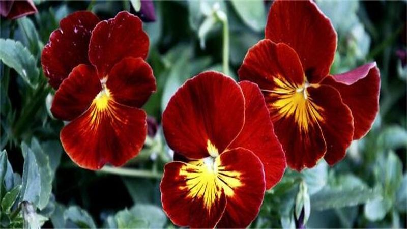 蝴蝶花的花语和传说