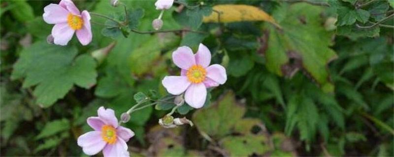 秋牡丹的花语和传说