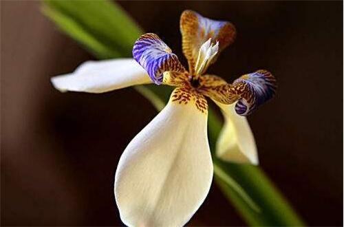 依米花在什么季节开放,每隔5~7年春季开花
