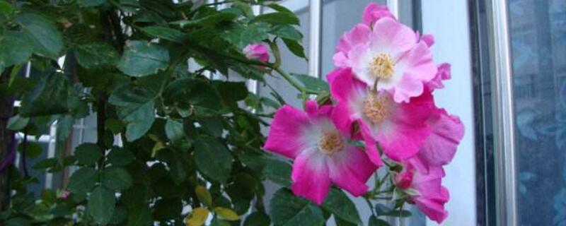 蔷薇花的花语是什么