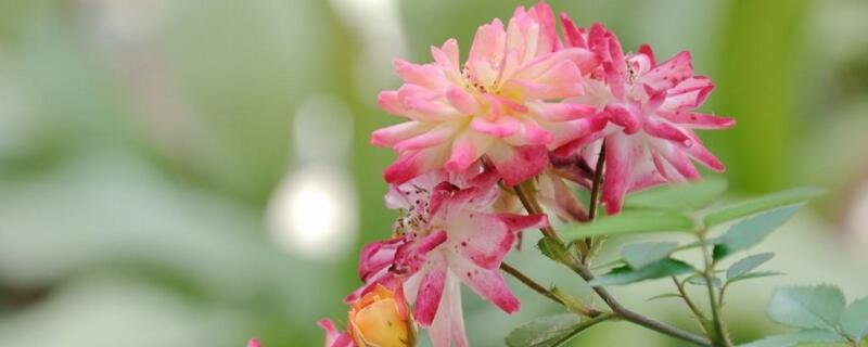 小盆栽月季花怎么养殖