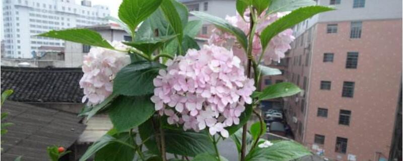 绣球花的花语和寓意