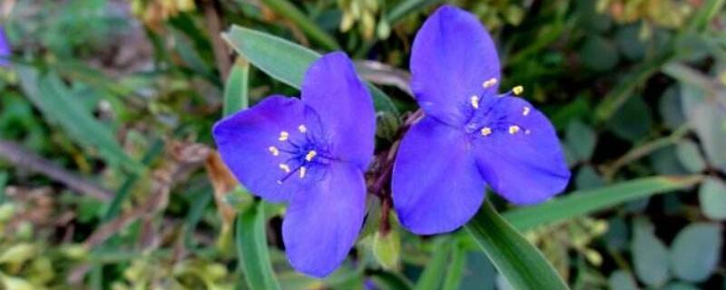 紫露草的養殖方法