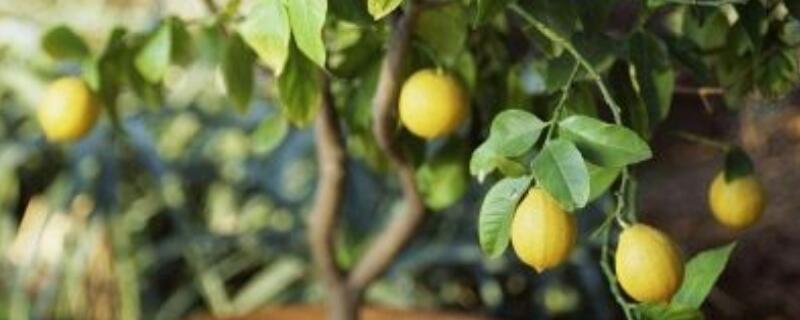 盆栽柠檬的养殖方法和注意事项