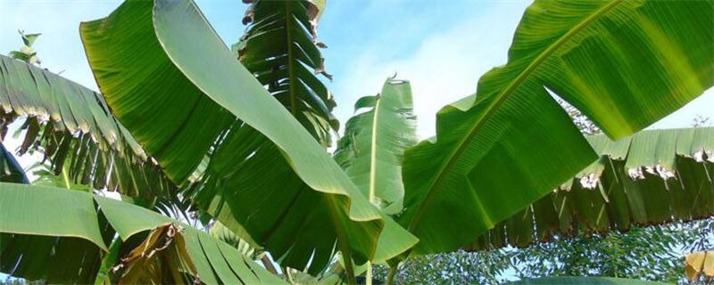芭蕉的养殖方法和注意事项