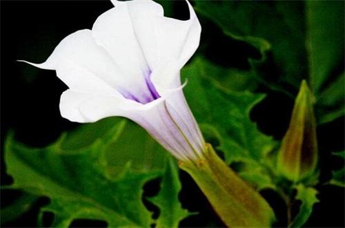 曼陀羅花是彼岸花嗎,不是且兩者大有區別