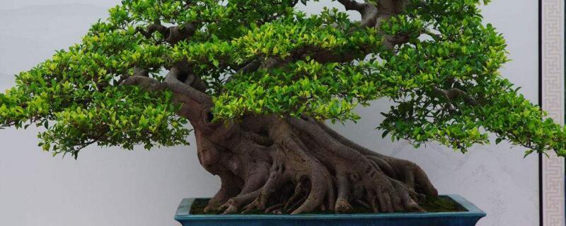 人参榕的养殖方法和注意事项