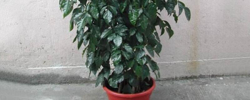 绿宝树的养殖方法是什么
