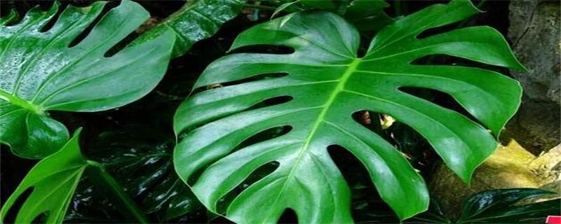 龟背竹的花语是什么
