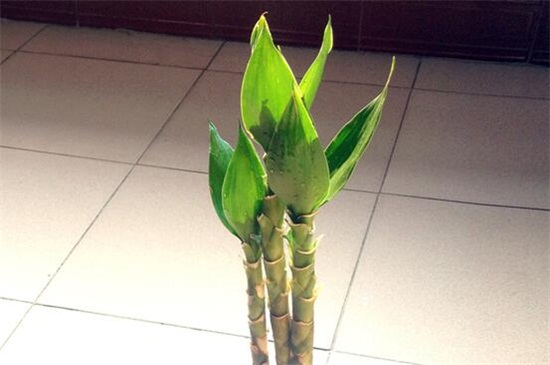 观音竹怎么养绿植屋才能长得好
