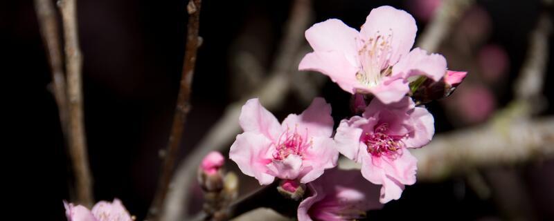 桃花的花语和传说