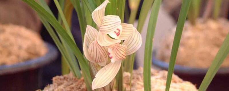 盆栽兰花养殖方法