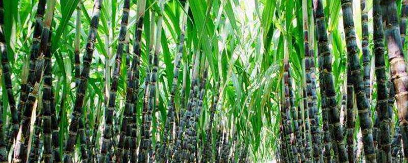 甘蔗怎么种植