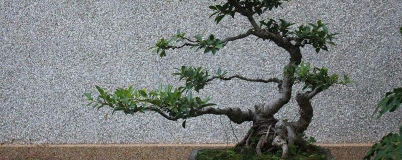 榕树烂根怎么办