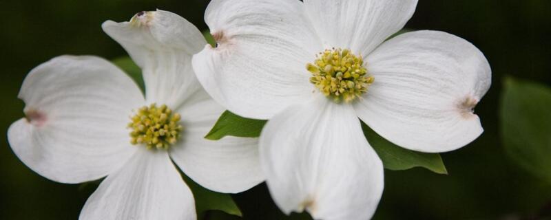 四照花的养殖方法和注意事项