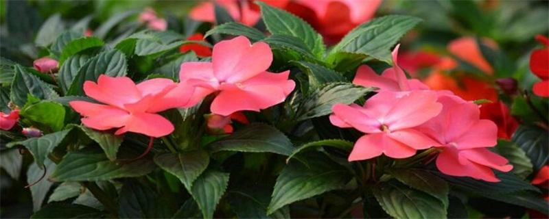 凤仙花什么时候开花
