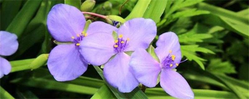 紫露草的花语和传说