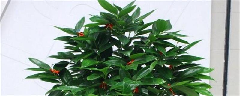 平安树的花语和传说