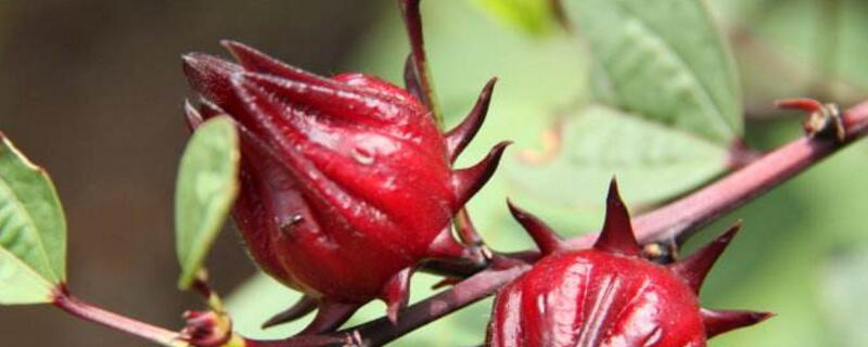 洛神花的养殖方法和注意事项