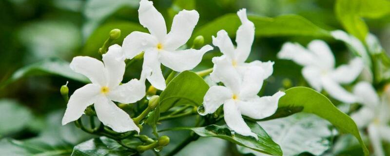 素馨花的养殖方法和注意事项