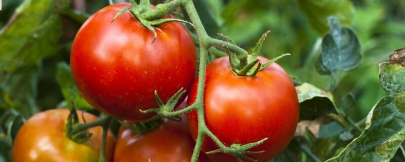 番茄的花语及植物文化