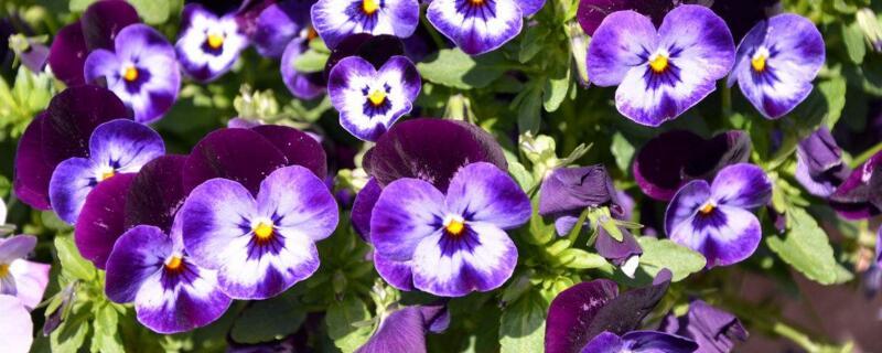 三色堇的花语是什么