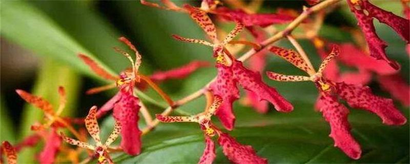 火焰兰的花语及象征意义